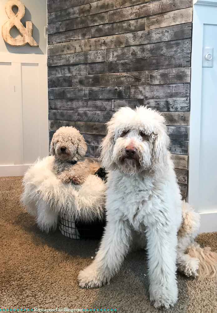 Two white Goldendoodles in front of a pallet board wall. The smaller dog sitting on fuzzy blankets in a metal basket