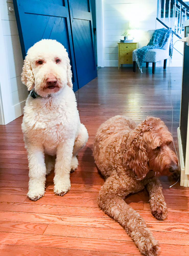 two goldendoodles hanging out